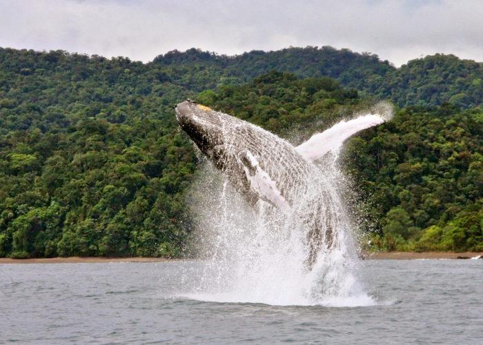 Avistamiento de ballenas Jorobadas en Colombia